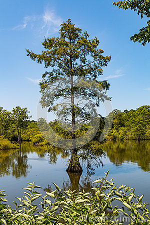 Free Bald Cypress Tree Growing In Wetlands At Stumpy Lake Stock Photography - 99259432