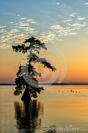 Free Bald Cypress Trees, Reelfoot Lake, Tennessee State Park Stock Photography - 43618892