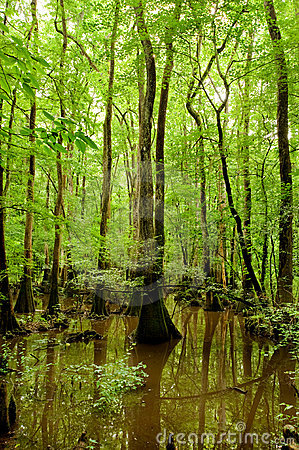 Free Bald Cypresses In Congaree National Park Stock Photography - 15047842