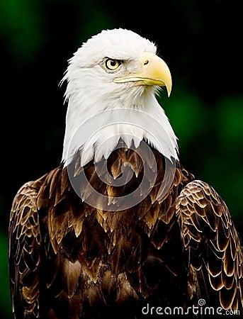 Free Bald Eagle Stock Photo - 1047960