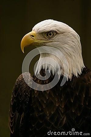 Free Bald Eagle Stock Photo - 131000