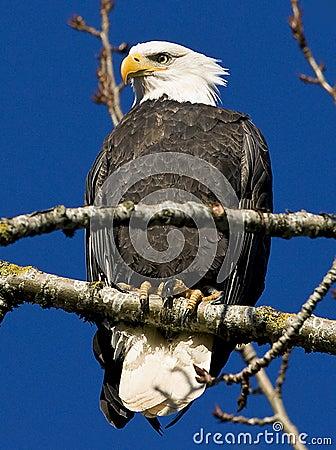 Free Bald Eagle Royalty Free Stock Image - 17676986