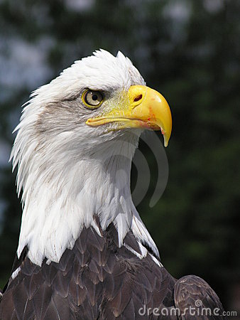 Free Bald Eagle Royalty Free Stock Images - 191569