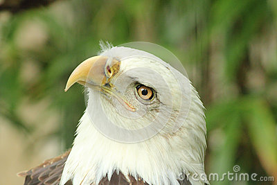 Bald Eagle 2 Stock Photos - Image: 24813713