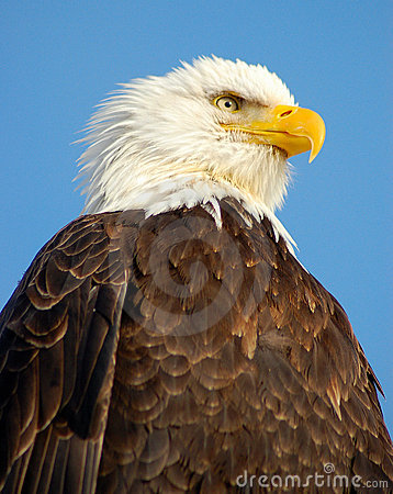 Free Bald Eagle Stock Image - 2009191