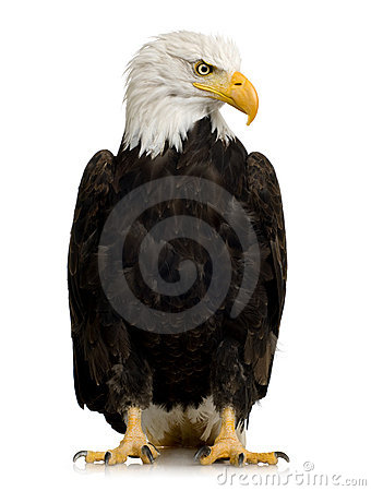 Free Bald Eagle (22 Years) - Haliaeetus Leucocephalus Stock Photography - 3803642