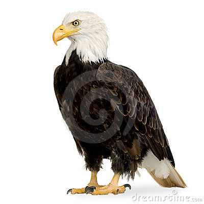 Free Bald Eagle (22 Years) - Haliaeetus Leucocephalus Stock Photos - 3803993