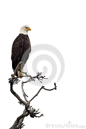 Free Bald Eagle Stock Photos - 28745703