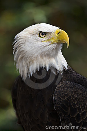 Free Bald Eagle Stock Photos - 4105093