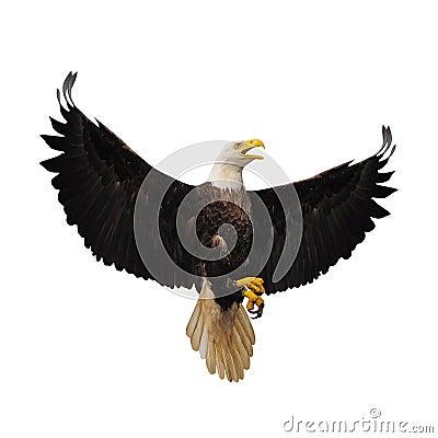 Free Bald Eagle. Stock Photo - 53228920