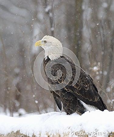 Free Bald Eagle Royalty Free Stock Photos - 5895208