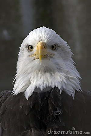 Free Bald Eagle Royalty Free Stock Photography - 73307