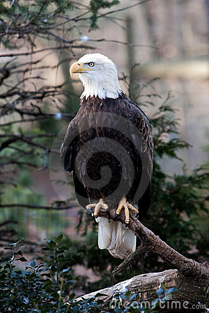 Free Bald Eagle Stock Photography - 7637452