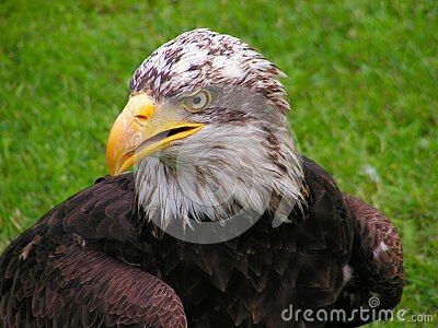Bald Eagle  Free Public Domain Cc0 Image