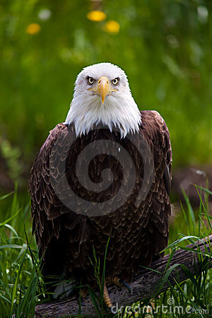 Free Bald Eagle Stock Photography - 9775772