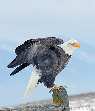 Free Bald Eagle About To Fly Royalty Free Stock Images - 18175879