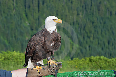 Bald Eagle. Bird of prey.