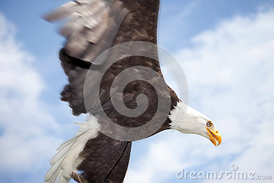 Bald eagle bird of prey