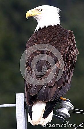 Bald Eagle - Bird on a Wire