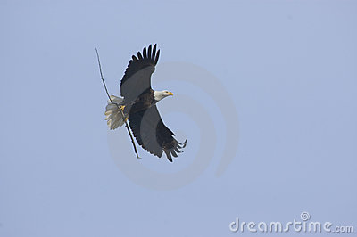 Bald eagle bringing stick to nest