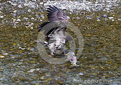 Bald eagle catching salmon