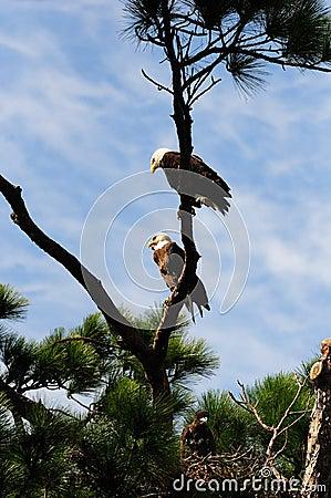 Bald Eagle Family Tree