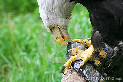 Bald eagle feeding on fish