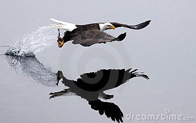A bald eagle flies off after the catch.