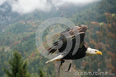 Bald Eagle in flight, Austria