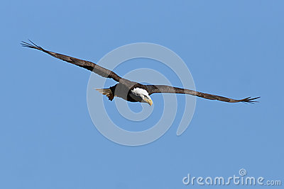 Bald Eagle in Flight