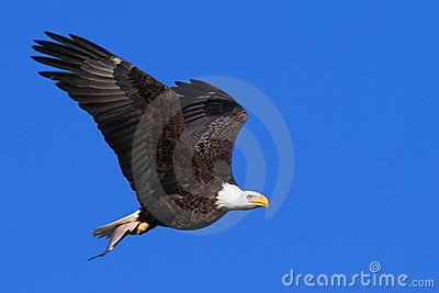 Bald Eagle in Flight With a Fish