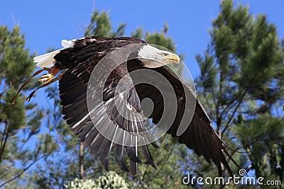 Bald Eagle flying over woods