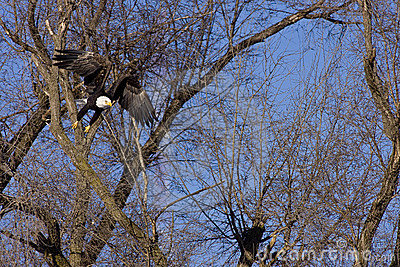 Bald eagle flying through tree branches