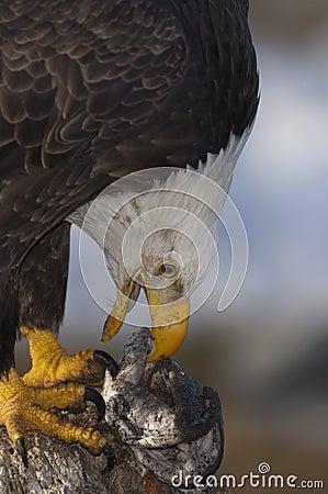 Bald Eagle with food