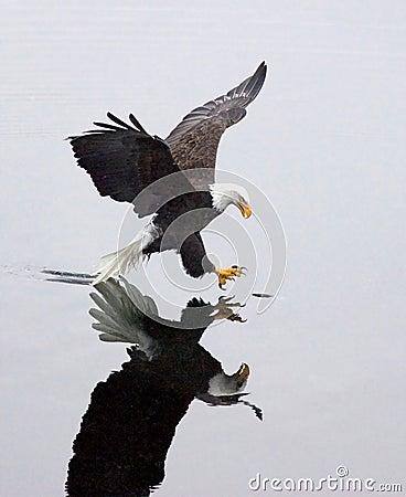 A bald eagle grabs a fish.