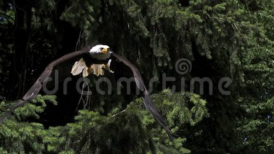 Bald Eagle, haliaeetus leucocephalus, Adult in Flight, Taking off from Branch,. Slow Motion