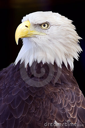 Free Bald Eagle (Haliaeetus Leucocephalus) Against Black Royalty Free Stock Photography - 1446317