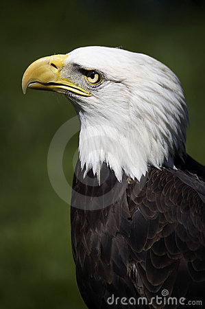Free Bald Eagle (Haliaeetus Leucocephalus) Profile Stock Photo - 802960