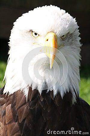 Free Bald Eagle Head Stock Photography - 55637472