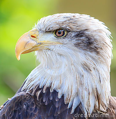 Free Bald Eagle Head Close Up Royalty Free Stock Photos - 42194848