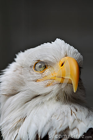 Bald Eagle Head close up