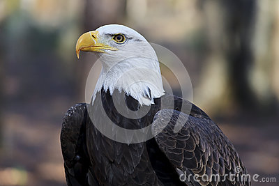 Bald eagle head front - photo#23