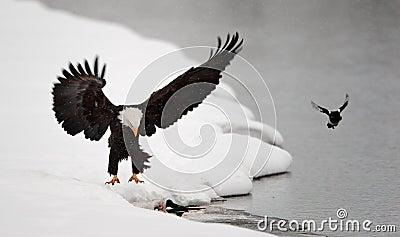 Bald Eagle  landed