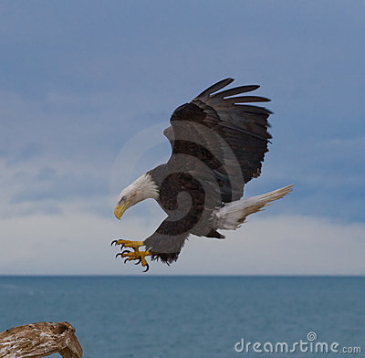 Free Bald Eagle Landing Royalty Free Stock Photos - 12202648