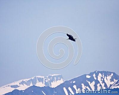 Bald Eagle and Mountains
