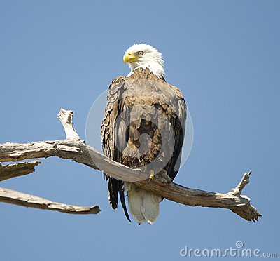 Bald Eagle Perched