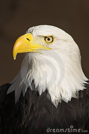 Free Bald Eagle Portrait Royalty Free Stock Photography - 2547077