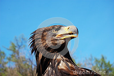 The Bald Eagle