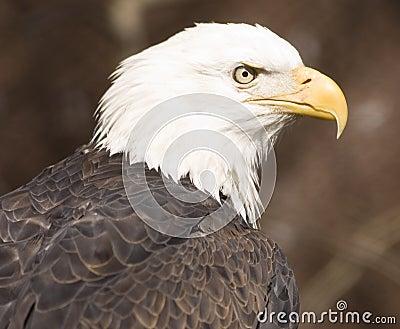 Bald eagle portrait (captive)