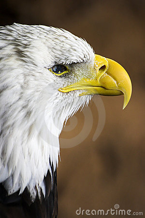 Free Bald Eagle Profile Royalty Free Stock Images - 296619